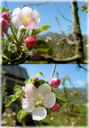 りんごの花②.jpg